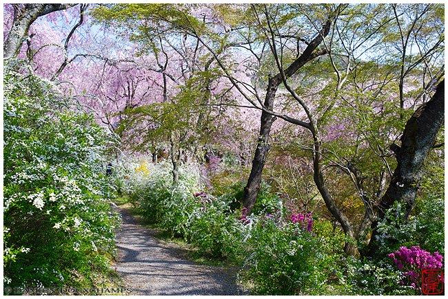 Haradani-en Garden at peak of blossoms image copyright Damien Douxchamps